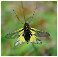Ascalaphe-insecte