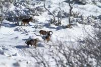 mouflon2