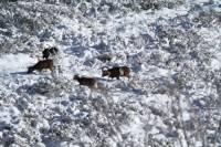 mouflon4