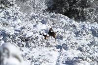 mouflon5
