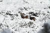 mouflon8