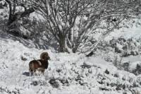 mouflon9
