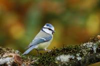 oiseaux_rickelin3