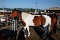 chevaux_maurs10