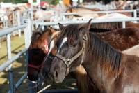 chevaux_maurs14