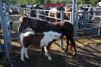 chevaux_maurs8