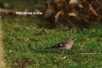 pinson_des_arbres
