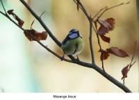 mesange_bleue