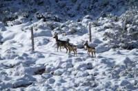 mouflon11