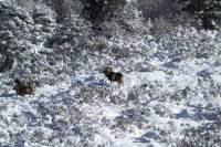 mouflon6
