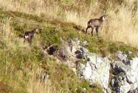 Famille_chamois
