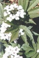 rn1_fleurs_blanches