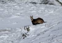 chamois-neige