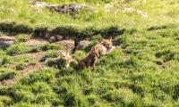 renard-famille