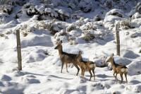 chevreuils-neige