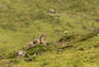 marmotte-gentiane