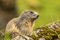 marmotte-observation