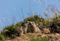 marmottes-bisou