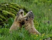 marmottes-jeu