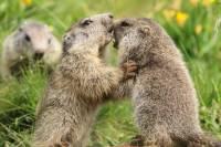 marmottes-jeu3