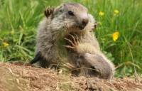 marmottes-jeu4