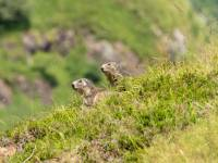 marmottes2