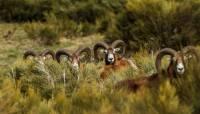 mouflons-males