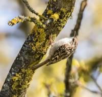 grimpereau-des-arbres